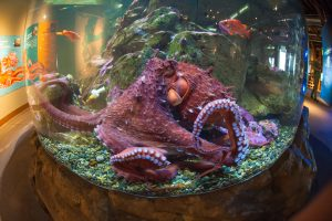 Giant Pacific octopus at Seattle Aquarium