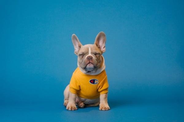 Ein Bild von einem Hund, der einen Pullover trägt.