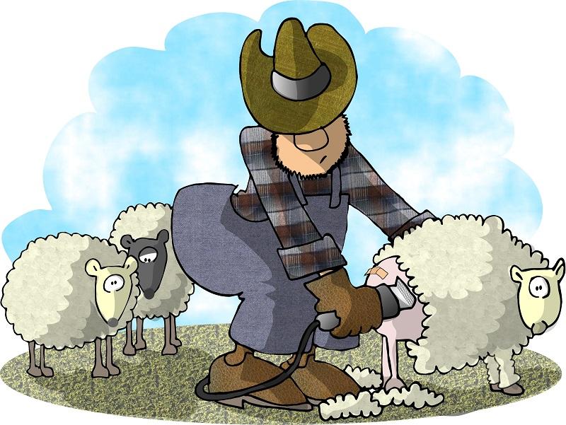 A farmer shears a sheep.