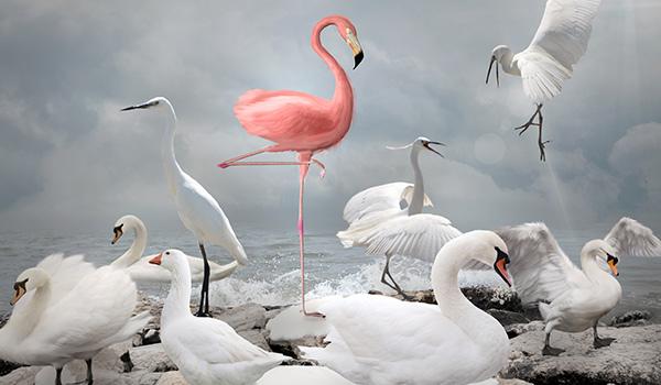 A pink flamingo next to white swans.