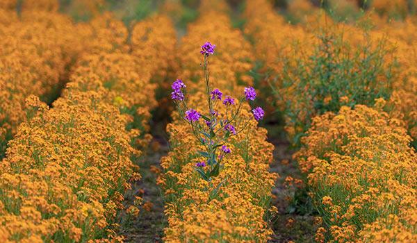 Eine violette Blume in einem Feld gelb blühender Pflanzen.