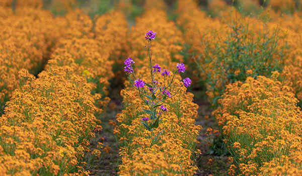A purple flower in a field of yellow.