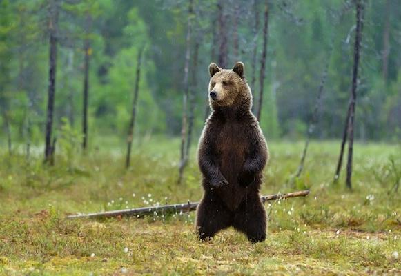 Ein Bär steht im Wald auf den Hinterbeinen.