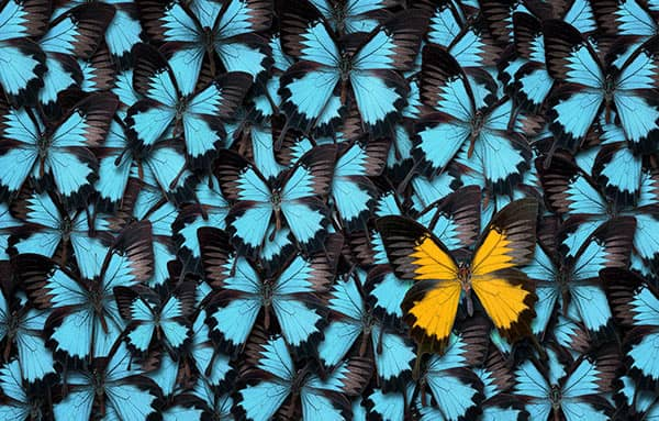 Zwischen blauen Schmetterlingen befindet sich ein orangefarbener Falter.